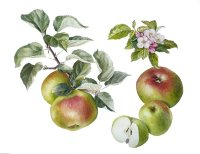alison-jones-apple-bramleys-seedling