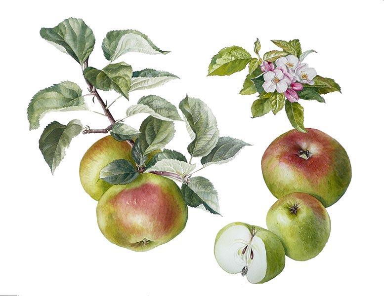 alison-jones-apple-bramleys-seedling