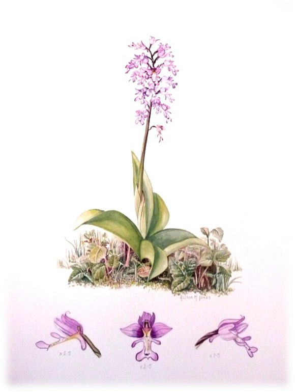 alison-jones-military-orchid-botanical-painting