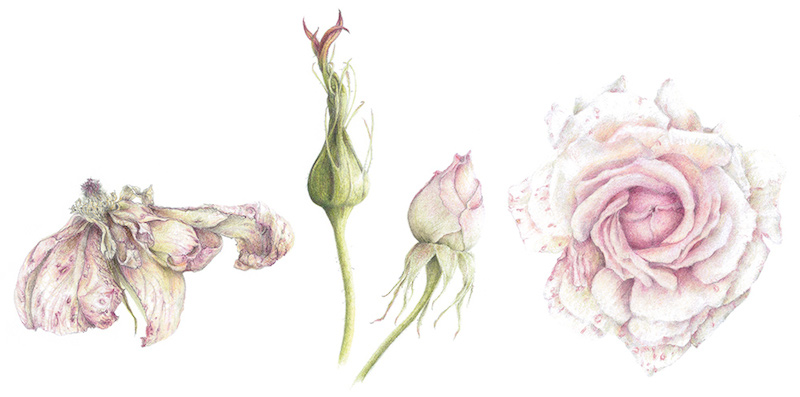 julia-groves-chandos-beauty-coloured-pencil-and-graphite-on-paper
