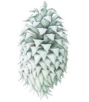 julia-groves-ghost-pine-spirit-pencilonpaper