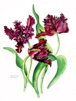 alison-jones-purple-parrot-tulips-watercolour-40x35cm