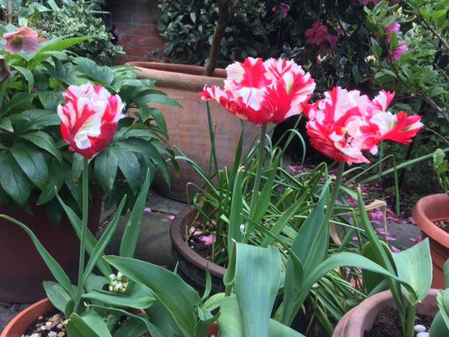 alison-jones-tulipa-estella-rijnveld-may-2020