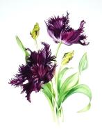 alison-jones-violet-parrot-tulips-watercolour-40x35cm